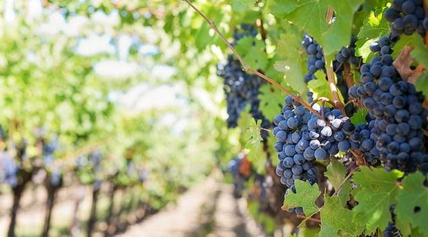 purple-grapes-553462_1280